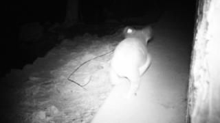 A koala uses a wildlife crossing