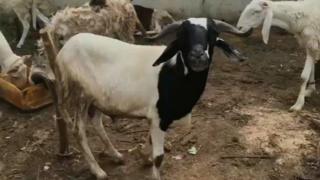 Ram for Sallah