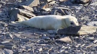 About 60 seal pups have been born on the Calf of Man in 2016