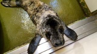Baby seal at RSPCA West Hatch