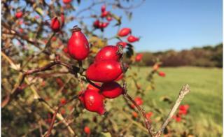 Rose hips in Slade Meadow, Oxford