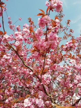 """This pink cherry blossom is in full bloom in my front garden in Stirling."""""""