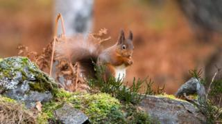 Squirrel in Aviemore