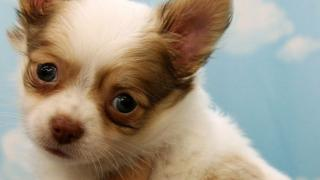The Chihuahua, like this one pictured in Japan, was only a puppy