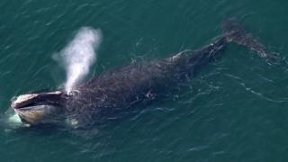 A North Atlantic right whale off a US easterly coast