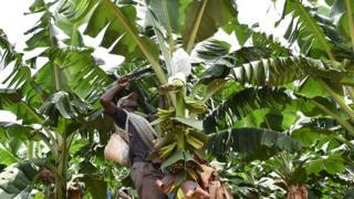 Un cultivateur dans un champs de bananier