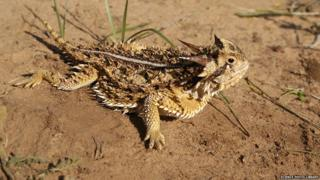 horned lizard on sand
