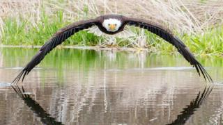 Bruce the bald eagle stares down photographer Steve Biro