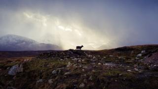 Lone goat on Rannoch Moor
