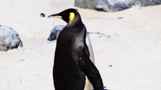 King Penguin on the beach
