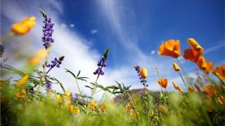 Tucson çöllerinde çiçekler
