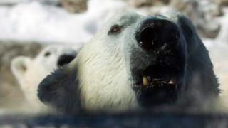 Polar bear in Toronto Zoo