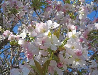 Blossom on a tree