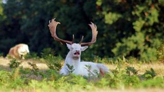 Photo of white Stag