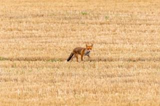A fox in a field