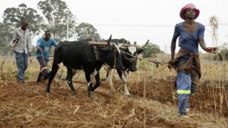 in_pictures Farmer use oxen to plough a field in Chishawasha, Zimbabwe - Tuesday 19 November 2019