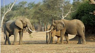 Elephants at Mana Pools, Zimbabwe