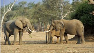 Elephants at Mana Pools, Zimbabwe
