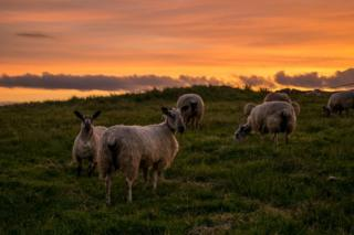 Sheep at Carron Valley
