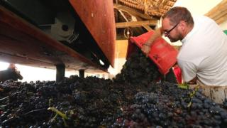 A man fills a wine press with bunch of grapes during the wine harvest in the Champagne area
