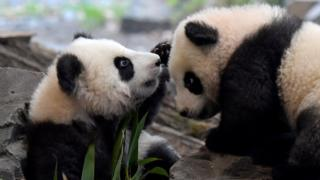 Panda twins Meng Yuan and Meng Xiang in Berlin Zoo, 29 Jan 20