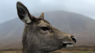 A side profile of a deer with a mountain behind it, in fog