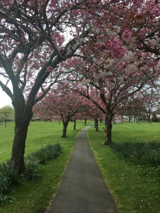 Cherry Blossom trees in Carlingwark Park, Castle Douglas