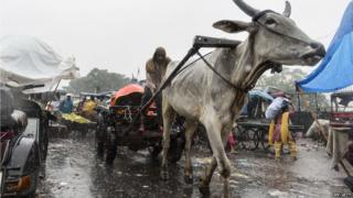 An Indian labourer sits on a bullock cart travelling through the heavy rain in the old quarters of Delhi as the Indian capital experiences heavy monsoon rainfall.