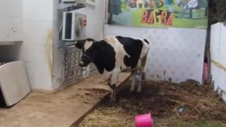 Pamela the cow at the Bagra game headquarters