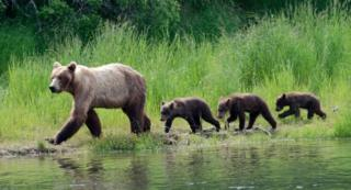 An Alaskan brown bear mother takes her cubs for a walk in Katmai National Park.