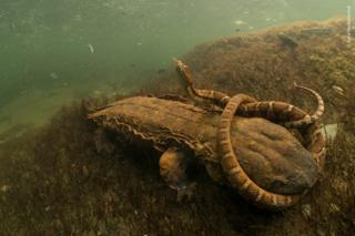 A Hellbender salamander fights with a northern water snake