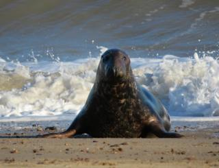 A seal by waves crashing on the beach