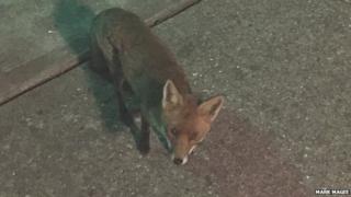 Fox outside Alconbury club