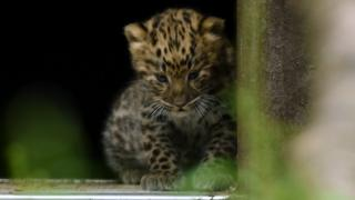An Amur leopard cub at Twycross Zoo