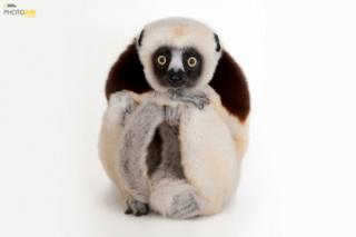 Coquerel-s sifaka (Propithecus coquerel) Houston Zooparkı, Houston Texas © Joel Sartore/National Geographic Photo Ark