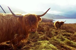 HIghland cattle at Loch Lomond