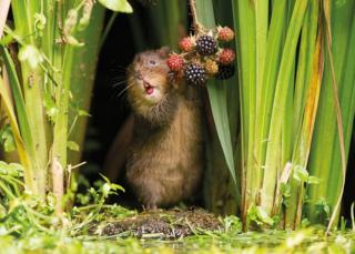 A water vole eating berries