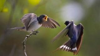 طائر السنونو