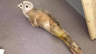 Common seal pup found off Alderney
