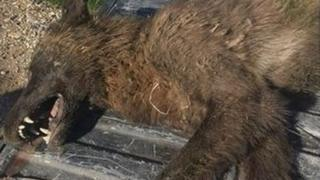 El animal encontrado en Montana