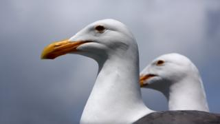 Western seagulls keeping their eyes out for food