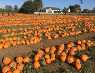 Rows of pumpkins in a field