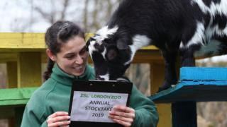 Pygmy goats are counted during the annual stocktake