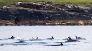 Atlantic white-sided dolphins in Shetland