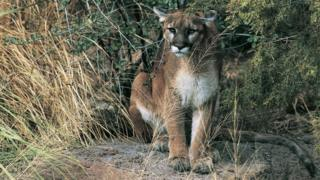 Cougar sits on rock in woods