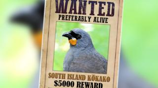 A poster advertising the reward which reads: Wanted, preferably alive, South Island Kokako, $5000 reward