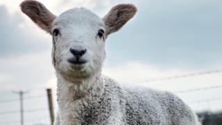 Cheviot lamb
