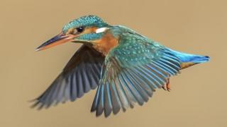 kingfisher hovering above the water