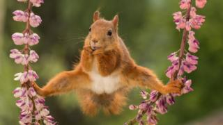A red squirrel balances, bottom legs stretched out holding on to two stems of cherry blossom