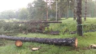 Posečena stabla bora u Košutnjaku